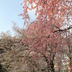 青山霊園でお花見してきました。