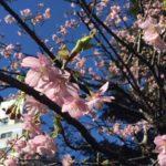 東商のすぐ近く。東京スクエアガーデンの河津桜