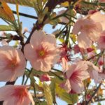 東京では桜の開花が発表されましたね!